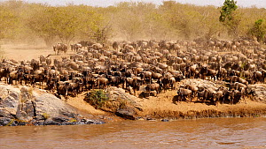 Blue wildebeest (Connochaetes taurinus) crossing a river, Serengeti National Park, Tanzania.  -  Sandesh  Kadur