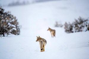 Coyotes (Canis latrans) walking in snow. Lamar River Valley, Yellowstone National Park, Wyoming, USA.  -  Nick Garbutt