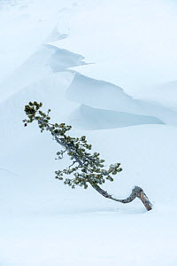 Conifer sapling emerging from snow drift with cornice of snow. Hayden Valley, Yellowstone National Park, Wyoming, USA. January - Nick Garbutt
