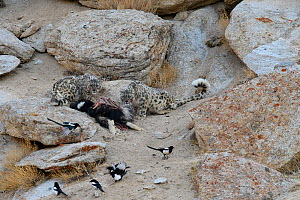 Snow leopard (Panthera uncia) female with older cub feeding on kill - a domestic yak calf (Bos grunniens) with scavenging magpies (Pica pica). Ladakh Range, Western Himalayas, Ladakh, India.  -  Nick Garbutt