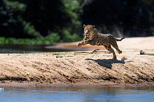 Jaguar (Panthera onca) female running along a sand spit chasing after a caiman. Northern Pantanal Cuiaba River, Mato Grosso, Brazil.  -  Nick Garbutt