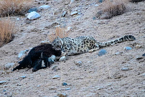 Snow leopard (Panthera uncia) female feeding on its kill - a domestic yak calf (Bos grunniens). Ladakh Range, Western Himalayas, Ladakh, India. - Nick Garbutt