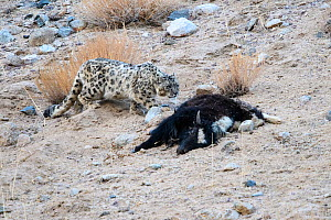 Snow leopard (Panthera uncia) female approaching its kill - a domestic yak calf (Bos grunniens). Ladakh Range, Western Himalayas, Ladakh, India. - Nick Garbutt