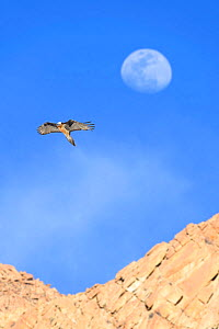 Lammergeier / Bearded vulture (Gypaetus barbatus) in flight with the out-of-focus moon behind. Ladakh, Himalayas, northern India.  -  Nick Garbutt