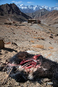 Carcass of a domestic yak or dzo, killed by a snow leopard. Himalayas, Ladakh, northern India. - Nick Garbutt