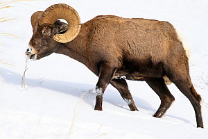 Rocky Mountain bighorn sheep (Ovis canadensis canadensis) male grazing. Lamar Valley, Yellowstone National Park, Wyoming, USA. January - Nick Garbutt