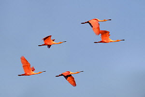 A small flock of Roseatte spoonbills (Ajaia ajaja) in flight. Paraguay River, Taiama Reserve, Western Pantanal, Mato Grosso, Brazil, - Nick Garbutt