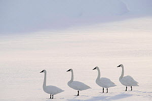 Trumpeter swans (Cygnus buccinator) on the edge of the Upper Yellowstone River. Hayden Valley, Yellowstone National Park, Wyoming, USA. January - Nick Garbutt