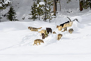 Pack of wolves (Canis lupus). Yellowstone National Park, Wyoming, USA. January.  -  Nick Garbutt