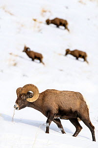 Rocky mountain bighorn sheep (Ovis canadensis canadensis) grazing. Lamar Valley, Yellowstone National Park, Wyoming, USA. January - Nick Garbutt