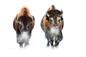 Male American Bison (Bison bison) walking through snow. Firehole River Valley, Yellowstone National Park, Wyoming, USA. January - Nick Garbutt