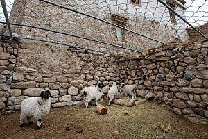 Sheep / domestic stock pen covered with chain-mail to protect against attacks from snow leopards (Panthera uncia). This has cut predation of domestic animals by 90%. Ulley Valley, Himalayas, Ladakh, n... - Nick Garbutt