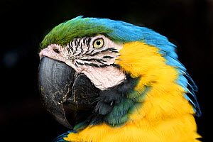 Portrait of a Blue-and-yellow macaw (Ara ararauna). Northern Pantanal, Mato Grosso, Brazil. - Nick Garbutt