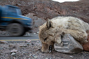 Corpse of a Himalayan wolf (Canis lupus), killed on a road outside Leh. Himalayas, Ladakh, northern India. - Nick Garbutt