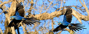 Hyacinth macaws (Anodorhynchus hyacinthinus) in flight. Pousada Araras Lodge, Nothern Pantanal, Mato Grosso, Brazil. September. - Nick Garbutt