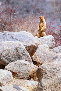 Himalayan marmot (Marmota himalayana) acting as a lookout sentinel outside its burrow. Ladakh, northern India. - Nick Garbutt