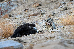 Snow leopard (Panthera uncia) female sitting with its kill - a domestic yak calf (Bos grunniens). Ladakh Range, Western Himalayas, Ladakh, India. - Nick Garbutt