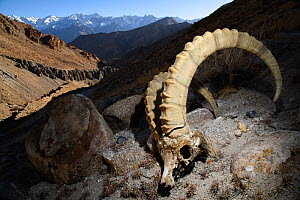 RF - Skull of a male Himalayan ibex (Capra sibirica) (killed by a snow leopard) lying on steep rocky slope. Himalayas, Ladakh, northern India. (This image may be licensed either as rights managed or r... - Nick Garbutt