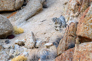 RF - Snow leopard (Panthera uncia) female beginning to stalk prey through broken rocky terrain. Ladakh Range, Western Himalayas, Ladakh, India. (This image may be licensed either as rights managed or...  -  Nick Garbutt