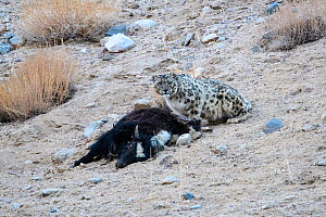RF - Wild female Snow leopard (Panthera uncia) with its kill - a domestic yak calf (Bos grunniens). Ladakh Range, Western Himalayas, Ladakh, India. (This image may be licensed either as rights managed...  -  Nick Garbutt