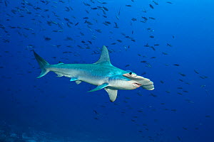 RF - Scalloped hammerhead shark (Sphyrna lewini) male in front of a school of Pacific creolefish (Paranthias colonus). Darwin Island, Galapagos National Park, Galapagos Islands. East Pacific Ocean. (T...  -  Alex Mustard