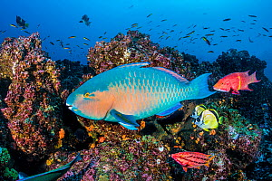 RF - Reef fish, including Bluechin parrotfish (Scarus ghobban), Barberfish (Johnrandallia nigrirostris) and Mexican hogfish (Bodianus diplotaenia). Wolf Island, Galapagos National Park, Galapagos Isla...  -  Alex Mustard