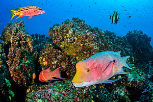 Reef fish, including Mexican hogfish (Bodianus diplotaenia) and moorish idol (Zanclus cornutus). Wolf Island, Galapagos National Park, Galapagos Islands. East Pacific Ocean.  -  Alex Mustard