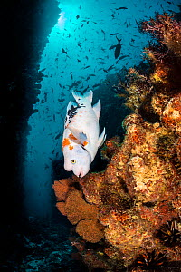 Harlequin hogfish (Bodianus eclancheri) swims on a reef. Punta Vincente Roca, Isabela Island, Galapagos National Park, Galapagos Islands. East Pacific Ocean.  -  Alex Mustard