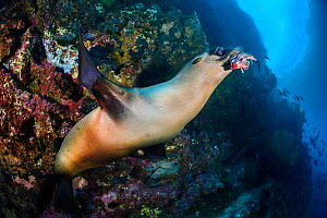 A young Galapagos sea lion (Zalophus wollebaeki) holds a red-lipped batfish (Ogcocephalus darwini) in its mouth. The sea lion was using the living batfish as a toy, dropping and chasing it as it tried...  -  Alex Mustard