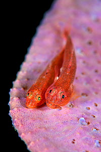 Pair of Common ghostgobies (Pleurosicya mossambica) spawning on a pink sponge. The male is the larger fish on the right. Bitung, North Sulawesi, Indonesia. Lembeh Strait, Molucca Sea. - Alex Mustard