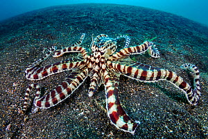 Mimic octopus (Thaumoctopus mimicus) on a sandy seabed. Bitung, North Sulawesi, Indonesia. Lembeh Strait, Molucca Sea. - Alex Mustard