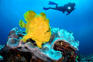 Diver with Yellow giant frogfish (Antennarius commersoni) on a coral reef. Bitung, North Sulawesi, Indonesia. Lembeh Strait, Molucca Sea. Model released.  -  Alex Mustard