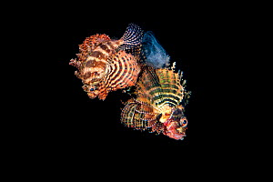 Pair of Shortfin lionfish (Dendrochirus brachypterus) swimming up into the water column and spawning a raft of eggs at night. The male is the larger fish on the right. Bitung, North Sulawesi, Indonesi... - Alex Mustard