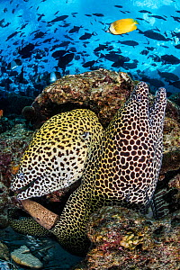 Pair of a Honeycomb moray eels (Gymnothorax favagineus) on a coral reef with triggerfish schooling above. North Male Atoll, Maldives, Indian Ocean.  -  Alex Mustard