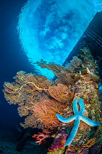 Seafans and soft corals grow on the wooden legs of Arborek jetty, with Blue starfish (Linckia laevigata). Arborek Island, Raja Ampat, West Papua, Indonesia. Dampier Strait. Ceram Sea. Tropical West Pa... - Alex Mustard