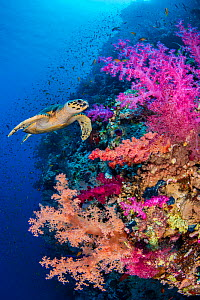 Hawksbill turtle (Eretmochelys imbricata) swims along a coral reef with pink soft coral (Dendronepthya sp.). Ras Mohammed National Park, Sinai, Egypt. Red Sea. - Alex Mustard