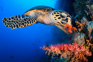 Hawksbill turtle (Eretmochelys imbricata) feeds on red soft coral (Dendronepthya sp.) growing on a coral reef. Ras Mohammed National Park, Sinai, Egypt. Red Sea. - Alex Mustard
