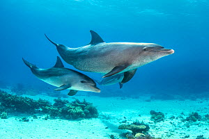 Bottlenose dolphin (Tursiops aduncus) mother baby swimming over a coral reef. Sha'ab El Erg, Hurghada, Egypt. Red Sea.  -  Alex Mustard