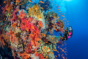 Diver explores a colourful coral reef with soft corals (Dendronephthya sp.) and Scalefin anthias (Pseudanthias squamipinnis). Ras Za'atar, Ras Mohammed National Park, Sinai, Egypt. Red Sea  -  Alex Mustard