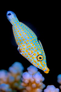 Harlequin filefish (Oxymonacanthus halli) swimming over a hard coral looking for polyps to feed on. Gubal Island, Egypt. Strait Of Gubal, Gulf of Suez, Red Sea. Endemic. - Alex Mustard