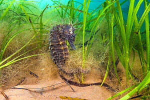 Spiny seahorse (Hippocampus guttulatus) female in a meadow of seagrass. (Zostera marina) Studland Bay, Dorset, England, UK. English Channel. - Alex Mustard