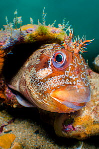 A wide angle view of a male Tompot blenny (Parablennius gattorugine) peering out of its den, in a leg of Swanage Pier. Swanage, Dorset, England, United Kingdom. English Channel. North East Atlantic Oc...  -  Alex Mustard