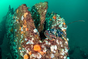 Common lobster (European lobster: Homarus gammarus) shelters in the structure of the Wreck of the Rosalie, which is encrusted with Plumose anemones (Metridium senile). Weybourne, north Norfolk, Englan...  -  Alex Mustard