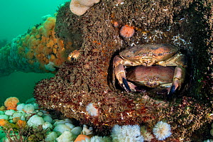 Pair of Edible crabs (Cancer pagurus) shelter in the structure of the Wreck of the Rosalie, which is encrusted with Plumose anemones (Metridium senile). Weybourne, north Norfolk, England, United Kingd...  -  Alex Mustard