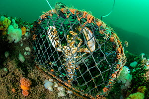 Lobster (Homarus gammarus) caught in a lobster pot / creel on the Wreck of the Rosalie, Weybourne, north Norfolk, England, United Kingdom. North Sea.  -  Alex Mustard