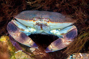 Portrait of an Edible crab (Cancer pagurus) on a chalk reef. Sherringham, north Norfolk, England, United Kingdom. North Sea  -  Alex Mustard