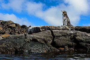 Portrait of a Galapagos penguin (Spheniscus mendiculus) on a rock. Bartolome Island, Galapagos National Park, Galapagos Islands. East Pacific Ocean  -  Alex Mustard