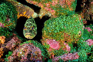 Flag cabrilla (Epinephelus labriformis) looking out from its lair between colourful volcanic boulders. Darwin Island, Galapagos National Park, Galapagos Islands. East Pacific Ocean. - Alex Mustard