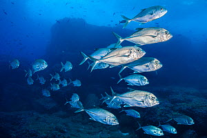 Bigeye trevally (Caranx sexfasciatus) swim in front of volcanic boulders. Darwin Island, Galapagos National Park, Galapagos Islands. East Pacific Ocean.  -  Alex Mustard