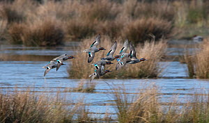 Flock of Eurasian Teal (Anas crecca) flying in to feed on a marshy pond, Druridge Pools, Druridge Bay, Northumberland, England, UK. March.  -  Roger Powell